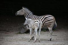 Cebras Fotos de archivo libres de regalías