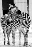 Cebras Fotografía de archivo