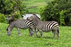 Cebras Imagen de archivo libre de regalías
