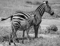 Cebras Imagenes de archivo