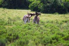 Cebras Imágenes de archivo libres de regalías
