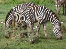 Cebras Foto de archivo libre de regalías
