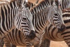 Cebras alertas Fotografía de archivo