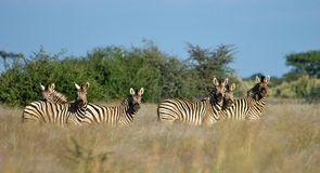 Cebras alertas Imagen de archivo