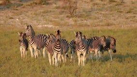 Cebras alertas de los llanos - Suráfrica metrajes