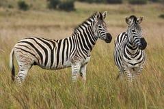Cebras alertas en prado Fotos de archivo libres de regalías