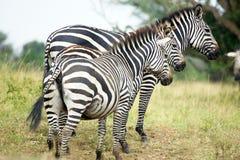 Cebras (burchelli del Equus) Foto de archivo libre de regalías