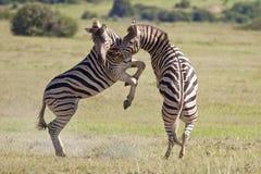 Cebras de Burchell Imágenes de archivo libres de regalías