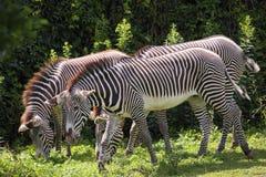 Cebras de Grevy Foto de archivo libre de regalías