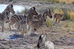 Cebras de la caza del león Foto de archivo libre de regalías