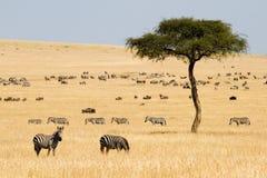 Cebras de los llanos (quagga del Equus) y Gnus imagen de archivo libre de regalías