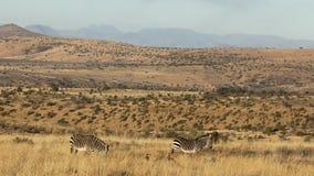 Cebras de montaña del cabo en hábitat natural almacen de video