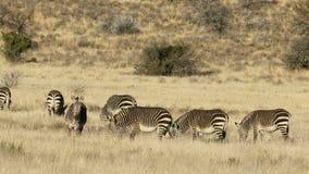 Cebras de montaña del cabo en prado abierto metrajes