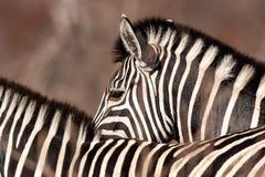 Cebras del ` s de Burchell (burchellii del Equus) Fotografía de archivo