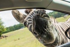 Cebras divertidas de la cara en la ventanilla del coche Fotos de archivo