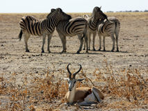 Cebras e impala Foto de archivo