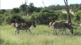 Cebras e impalas en parque nacional del kruger almacen de video
