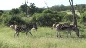 Cebras e impalas en parque nacional del kruger metrajes
