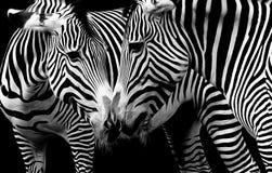 Cebras en amor en blanco y negro Fotos de archivo