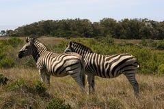 Cebras en el arbusto, Suráfrica Foto de archivo libre de regalías