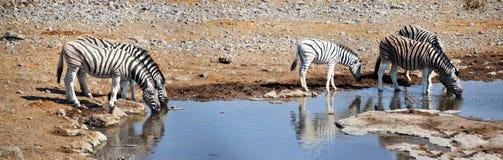 Cebras en el parque nacional de Etosha Fotografía de archivo