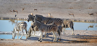 Cebras en el parque nacional de Etosha Foto de archivo