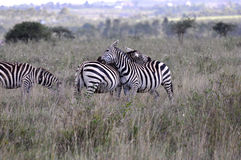 Cebras en el parque nacional 1 de Nariobi Foto de archivo