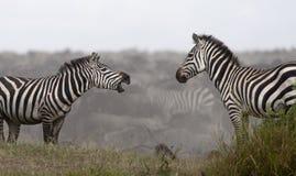 Cebras en el parque nacional de Serengeti Imagenes de archivo