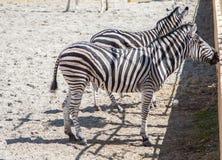 Cebras en el parque zoológico Foto de archivo libre de regalías