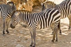 Cebras en el parque zoológico Imagen de archivo libre de regalías