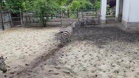 Cebras en el parque zool?gico de Budapest almacen de metraje de vídeo