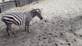 Cebras en el parque zool?gico de Budapest metrajes