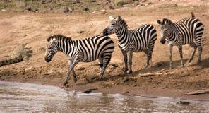 Cebras en el río de Mara Imagen de archivo libre de regalías