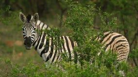Cebras en el salvaje