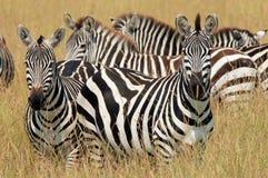 Cebras en hierba Imagen de archivo libre de regalías