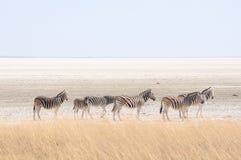 Cebras en la cacerola de Etosha, Namibia Imagen de archivo libre de regalías