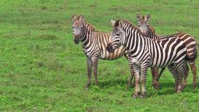 Cebras en la hierba