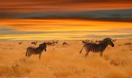 Cebras en la puesta del sol Foto de archivo