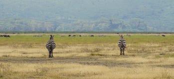 Cebras en Ngorongoro, Tanzania Foto de archivo libre de regalías
