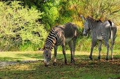 Cebras en parque zoológico Imagen de archivo libre de regalías