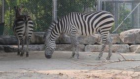 Cebras en parque zoológico almacen de metraje de vídeo