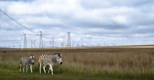 Cebras en prado debajo de los pilones del poder en África Imagen de archivo