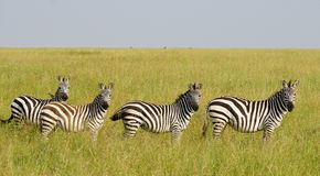 Cebras en Serengeti, Tanzania Foto de archivo libre de regalías