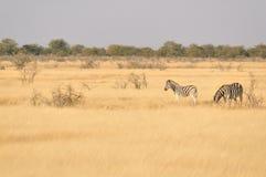 Cebras en un campo de hierba Imagen de archivo