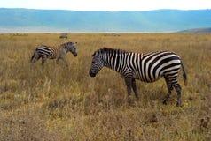 Cebras en un llano herboso en el cráter de Ngorongoro fotos de archivo libres de regalías