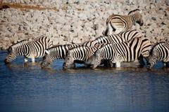 Cebras en una fila Foto de archivo libre de regalías