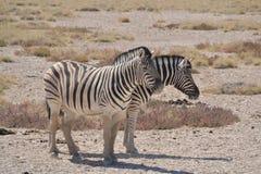 Cebras gemelas Foto de archivo libre de regalías