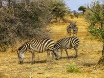Cebras hermosas en el savanne de África Fotos de archivo