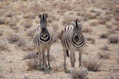Cebras idénticas del ` s de Burchell Imágenes de archivo libres de regalías