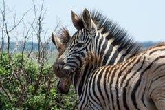 Cebras jovenes que son juguetonas en el arbusto africano Foto de archivo libre de regalías
